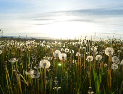 Dandelion Weeds Your Body Loves